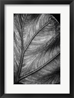 Framed Elephant Ear II
