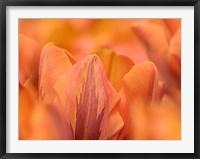 Framed Orange Tulips