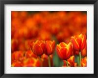 Framed Tulips Forever
