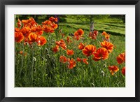 Framed Shampers Bluff Poppies