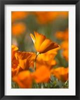 Framed Detail Of Golden California Poppy In Antelope Valley