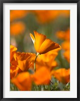 Framed Detail Of Golden California Poppy In Antelope Valley