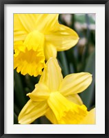 Framed Daffodil Bundle, New York City