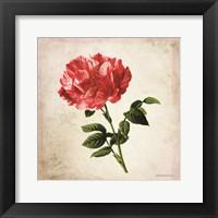 Framed Vintage Bicolor Red Rose