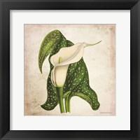 Framed Vintage Calla Lily