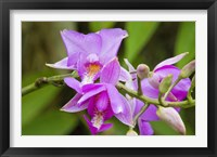 Framed Wild Orchid, Cloud Forest, Upper Madre De Dios River, Peru