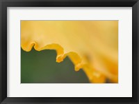 Framed Peach Bearded Iris