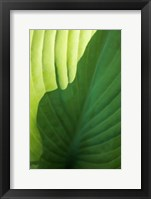 Framed Hosta Leaf Detail 2