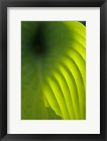 Framed Hosta Leaf Detail 4