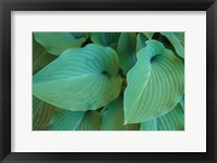 Framed Hosta Leaf Detail 5