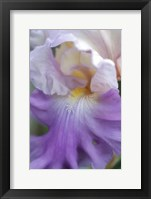 Framed Pale Lavender Bearded Iris Close-Up
