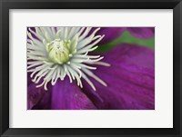 Framed Purple Clematis Bloom
