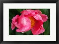 Framed Pink Peony Bloom 2