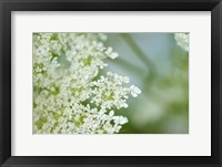 Framed Queen Anne's Lace Flower 6
