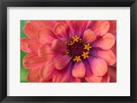 Framed Zinnia Blossom 1