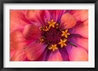 Framed Zinnia Blossom 2