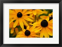 Framed Black-Eyed Susan Flowers 3