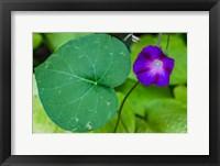 Framed Purple Morning Glory 2