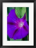 Framed Purple Morning Glory
