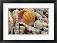 Framed Tropical Shell Still-Life 3
