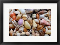 Framed Tropical Shell Still-Life 4
