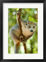 Framed Madagascar, Lake Ampitabe, Female Crowned Lemur Has A Gray Head And Body With A Rufous Crown