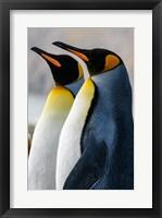 Framed South Georgia Island, St Andrews Bay King Penguins