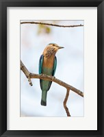Framed India, Madhya Pradesh, Bandhavgarh National Park An Indian Roller Posing On A Tree Branch