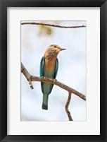 Framed India, Madhya Pradesh, Bandhavgarh National Park An Indian Roller Posing On A Tree Branch