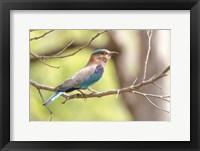 Framed India, Madhya Pradesh, Bandhavgarh National Park Portrait Of An Indian Roller