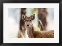 Framed India, Madhya Pradesh, Kanha National Park Headshot Of A Young Male Barasingha