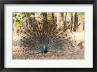 Framed India, Madhya Pradesh, Kanha National Park A Male Indian Peafowl Displays His Brilliant Feathers
