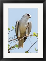 Framed India, Madhya Pradesh, Kanha National Park Portrait Of A Black-Winged Kite On A Branch