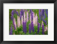 Framed New Zealand, South Island Lupine Flower Scenic