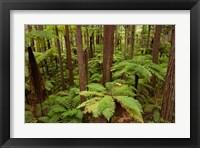 Framed Redwoods Treewalk At The Redwoods, Rotorua, North Island, New Zealand