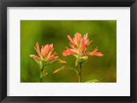 Framed Jasper National Park, Alberta, Canada Red Indian Paintbrush Wildflower