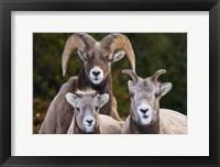 Framed Alberta, Jasper Bighorn Sheep Ram With Juveniles