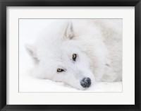 Framed Alberta, Yamnuska Wolfdog Sanctuary White Wolfdog Portrait