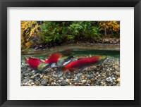 Framed British Columbia, Adams River Sockeye Salmon Split Shot