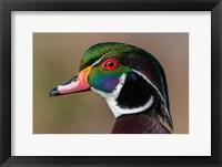 Framed Vancouver, Reifel Bird Sanctuary, Wood Duck Drake Portrait