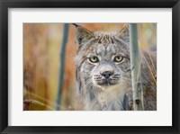 Framed Yukon, Whitehorse, Captive Canada Lynx Portrait