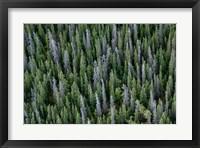 Framed Yukon, Kluane National Park Mix Of Living And Dead White Spruce Trees