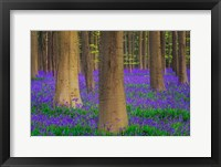 Framed Europe, Belgium Hallerbos Forest With Trees And Bluebells