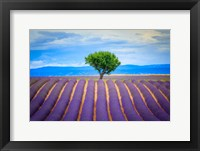 Framed Europe, France, Provence, Valensole Plateau Field Of Lavender And Tree