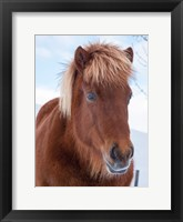 Framed Icelandic Horse In Fresh Snow