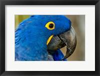 Framed Blue Hyacinth Macaw, Anodorhynchus Hyacinthinus