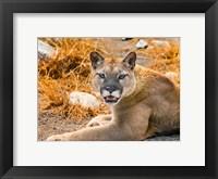 Framed Mountain Lion, Cougar, Puma Concolor