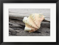 Framed Ruffled Clam Shell - Tridacna Squamosa