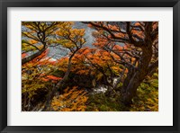 Framed Argentina, Los Glaciares National Park Lenga Beech Trees In Fall