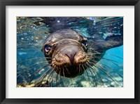 Framed Galapagos Islands, Santa Fe Island Galapagos Sea Lion Swims In Close To The Camera